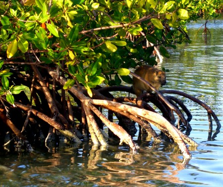 Photo of jutia in mangroves by Greg Geiser