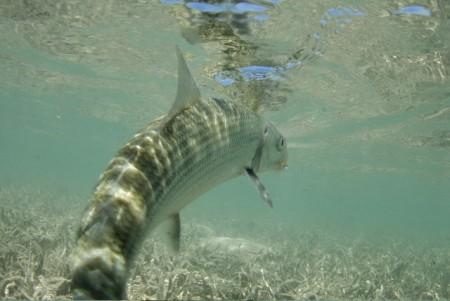 Bonefish captured underwater by Peter McBride.