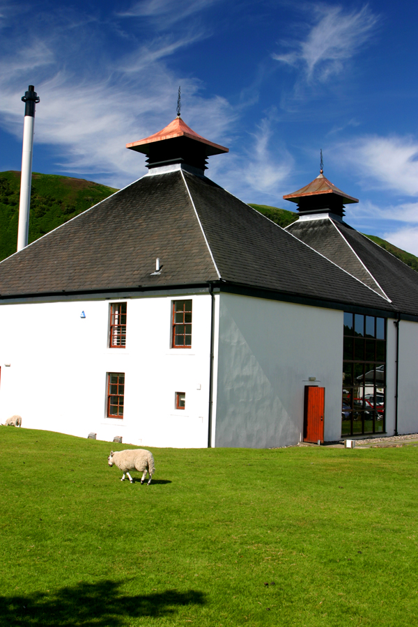 Sheep--not a hairy coo--at Isle of Arran distillery.