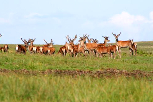 Herd of red deer on Jura.