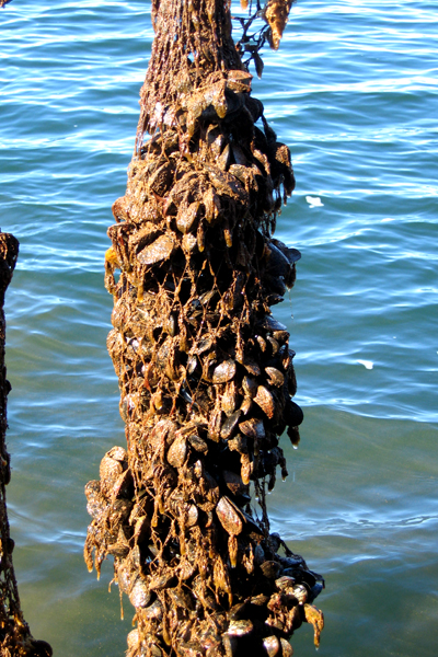 A mussel sock with 25 pounds of bivalves growing in New London Bay. Photo by David Lansing.