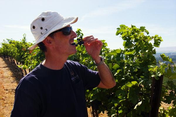 Hogue Cellars winemaker Co Dinn sampling grapes on Snipes...er, Dinosaur Hill. Photo by David Lansing.