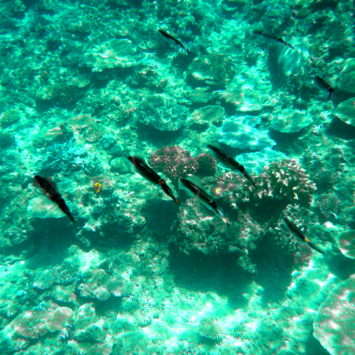 A squid school, swimming beneath my bure.