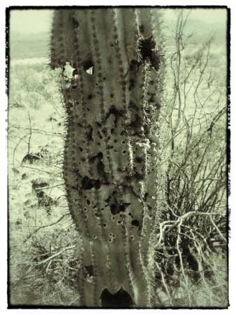 A bullet-riddled saguaro