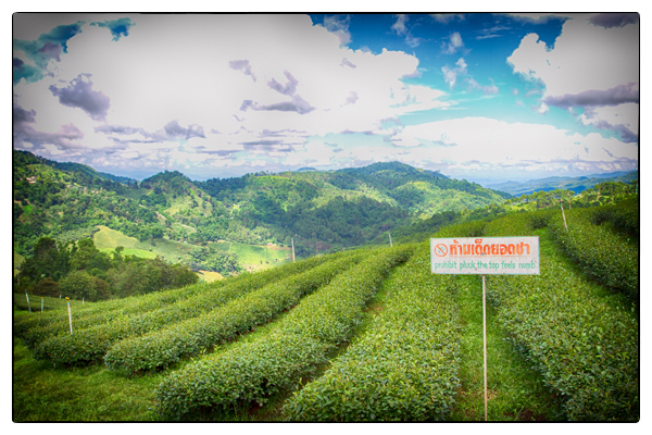Tea plantation in Northern Thailand